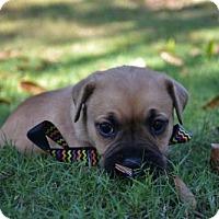 Adopt A Pet :: Caleb - Shelburne, VT