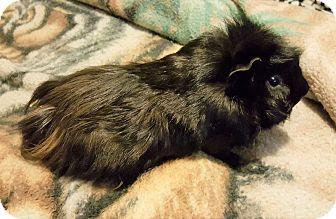 Guinea Pig for adoption in Aurora, Illinois - Bigfoot & Sasquatch