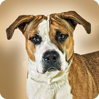 Pit Bull Terrier Mix Dog for adoption in Prescott, Arizona - Addison