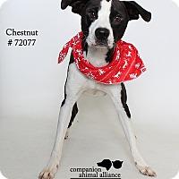Adopt A Pet :: Chestnut - Baton Rouge, LA
