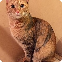 Adopt A Pet :: Anakin - Walled Lake, MI