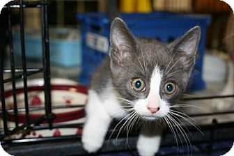 American Shorthair Kitten for adoption in Spring Valley, New York - Elvis