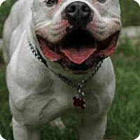 Adopt A Pet :: Stewie - Tinton Falls, NJ