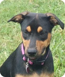 Doberman Pinscher/Hound (Unknown Type) Mix Puppy for adoption in Homestead, Florida - Gigi
