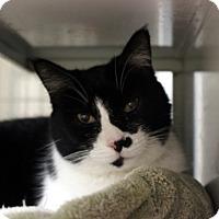 Adopt A Pet :: Sneak - Gilbert, AZ