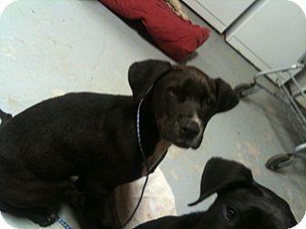 Labrador Retriever Mix Puppy for adoption in Burlington, Vermont - Scout
