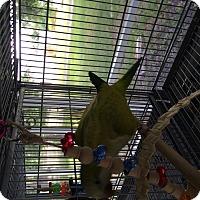 Parakeet - Quaker for adoption in Punta Gorda, Florida - Cinnamon