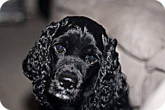 Cocker Spaniel Dog for adoption in Tacoma, Washington - CHARLIE -- 3