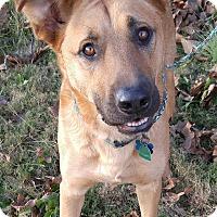 Adopt A Pet :: Scooby Doo - Boston, MA
