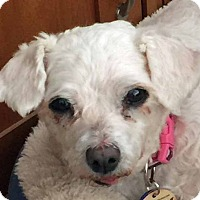 Adopt A Pet :: Rosie - Chesterfield, MO