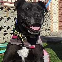German Shepherd Dog/Pit Bull Terrier Mix Dog for adoption in Inglewood, California - West Anne