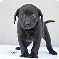 Adopt A Pet :: Onyx - Old Saybrook, CT