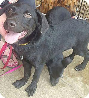 Feist/Labrador Retriever Mix Puppy for adoption in Jackson, Tennessee - Jero