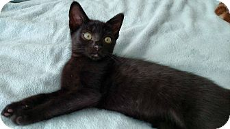 Domestic Shorthair Kitten for adoption in Los Angeles, California - Embry