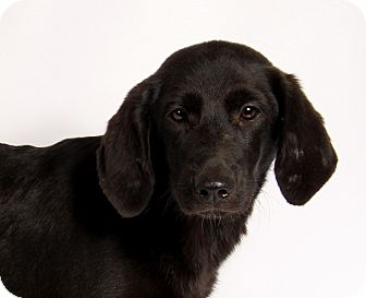 Labrador Retriever Mix Puppy for adoption in St. Louis, Missouri - Joann Labmix
