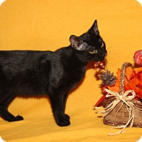 Domestic Shorthair Cat for adoption in Marietta, Ohio - Jasper (Neutered)