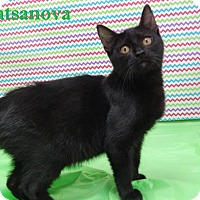 Domestic Shorthair Cat for adoption in Bucyrus, Ohio - Catsanova