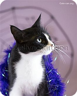Domestic Shorthair Cat for adoption in Oviedo, Florida - Opal