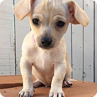 Adopt A Pet :: Simone's pup Phelps - Tucson, AZ