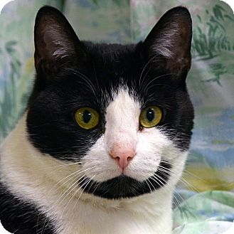 Domestic Shorthair Cat for adoption in Norwalk, Connecticut - Morticia