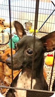 Chihuahua/Dachshund Mix Dog for adoption in Anderson, South Carolina - LIT'L MAN