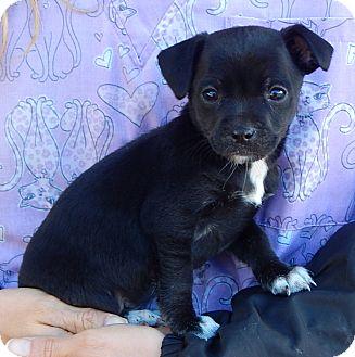 Boston Terrier/Australian Shepherd Mix Puppy for adoption in Sussex, New Jersey - Delilah (3 lb) Video!