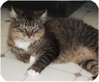 Domestic Mediumhair Cat for adoption in El Cajon, California - Stripes