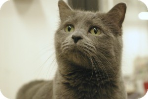 Russian Blue Cat for adoption in Sacramento, California - Zamora