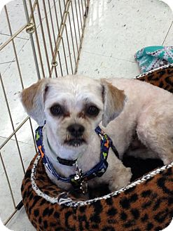 Shih Tzu/Yorkie, Yorkshire Terrier Mix Dog for adoption in Brea, California - Rhalpy