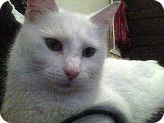Domestic Mediumhair Cat for adoption in Kirkwood, Delaware - Snow