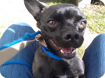 Chihuahua/Pug Mix Dog for adoption in Waldorf, Maryland - Pepe #432