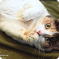Calico Cat for adoption in St Louis, Missouri - Callie