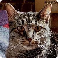 Adopt A Pet :: Chase - Wayland, MI