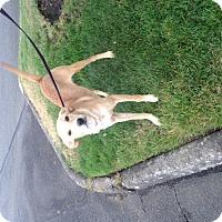 Adopt A Pet :: Sandy - Bellingham, WA
