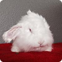 Adopt A Pet :: Little Lamb - Watauga, TX