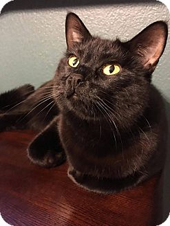 Domestic Shorthair Cat for adoption in Santa Ana, California - Faelyn