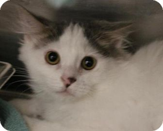 Domestic Longhair Kitten for adoption in Hilton Head, South Carolina - Arnold