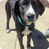 Adopt A Pet :: Scout - Fennville, MI