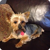 Yorkie, Yorkshire Terrier Dog for adoption in Matawan, New Jersey - Lambert