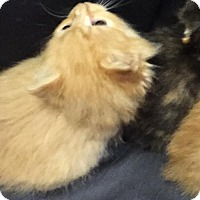 Domestic Shorthair Kitten for adoption in Baltimore, Maryland - Sprout (Stoop)