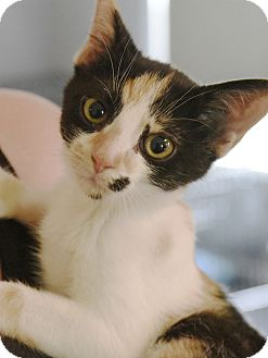 Domestic Shorthair Kitten for adoption in Knoxville, Tennessee - Flower