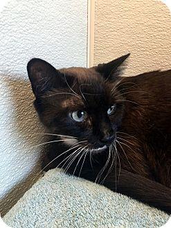 Burmese Cat for adoption in North Las Vegas, Nevada - Chloe