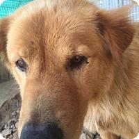 Adopt A Pet :: Apache - Quinlan, TX