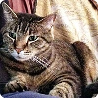 Domestic Shorthair Cat for adoption in Aurora, Indiana - Rascal