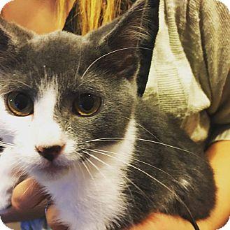 Domestic Shorthair Kitten for adoption in Hanna City, Illinois - Jade