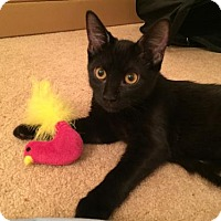 Domestic Shorthair Cat for adoption in Las Vegas, Nevada - Simon