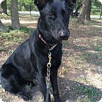 Adopt A Pet :: Ziti - Olympia, WA