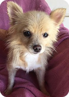 Pomeranian Mix Dog for adoption in Temecula, California - Tina