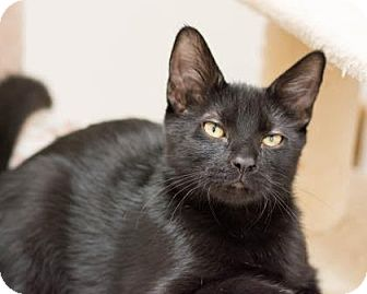 Domestic Shorthair Kitten for adoption in Fountain Hills, Arizona - Pepper