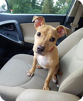 American Staffordshire Terrier/Pit Bull Terrier Mix Puppy for adoption in Raleigh, North Carolina - Nahla